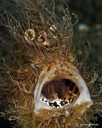 Hairy frog fish that tried to be unnoticed but failed wit... by Gurney Fermin 